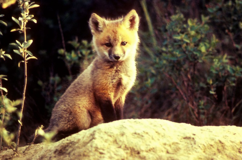 Vulpes_vulpes_pup_sitting_on_stone.jpg